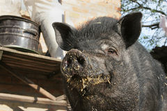Muzzle contented lives stained black pig food. Royalty Free Stock Photo