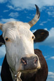 Muzzle of a cow against the sky. The spotty cow looks in a camera against the dark blue sky with clouds Royalty Free Stock Image