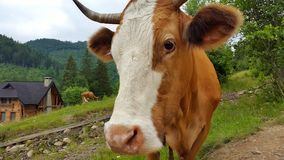 Muzzle cow. Animals Stock Photo