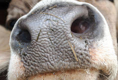 Muzzle of a cow. Close up of the muzzle of a cow Stock Photos