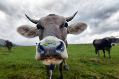 Muzzle cow Royalty Free Stock Photo