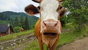 Muzzle cow. Nature Royalty Free Stock Images