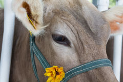 Muzzle of a cow in a stall close-up. Royalty Free Stock Photo