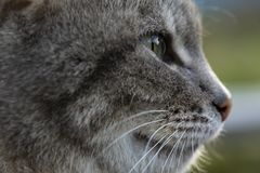 Muzzle cute cat in profile, outdoors, in the spring evening. Close-up stock photography