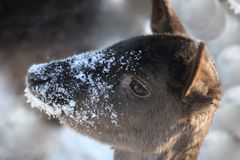 Muzzle deer in flakes of snow. royalty free stock image
