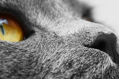 Muzzle detail of British shorthair cat Stock Photos