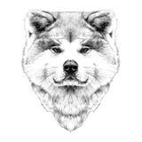 Muzzle dog breed Akita inu Royalty Free Stock Photos