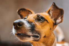 Muzzle dog fox terrier cute face Royalty Free Stock Photos