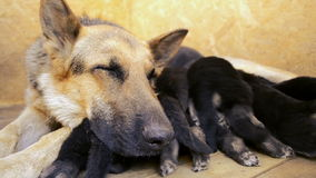 Muzzle dog German shepherd close up and paws puppies suck milk stock video footage