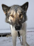 Muzzle dog with a large black wet nose. Close. Shallow depth of Stock Image