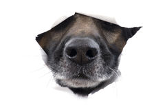 Muzzle dog on white Royalty Free Stock Photography
