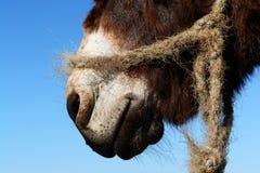 Muzzle of donkey Royalty Free Stock Image
