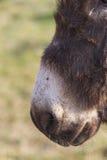 Muzzle donkey Stock Images