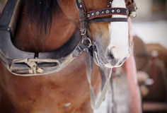 Muzzle is draught horse harnessed to a sled. Stock Images