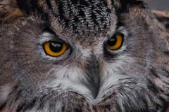 Muzzle of an eagle owl eagle owl close-up, huge eyes and a surprised angry look of a sleepy bird of prey royalty free stock photos