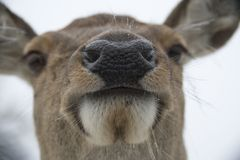 Muzzle of a female red deer Royalty Free Stock Images