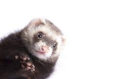 Muzzle ferret Stock Image