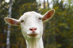Muzzle of funny goat stock images