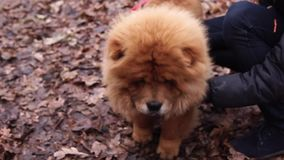 Cute fluffy red dog Chow Chow is on a walking in rainy fall day, close up. Muzzle of furry red purebred Chow Chow. It is walking in autumn day outdoors, owners stock video footage