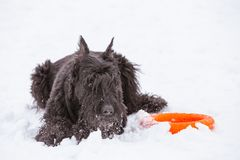Muzzle Ginger Schnauzer dog portrait. Ginger Schnauzer black dog thoroughbred portrait in the snow royalty free stock images
