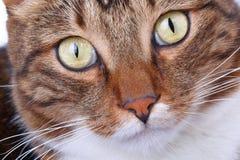 Muzzle gjorde randig närbild för inhemsk katt royaltyfri foto