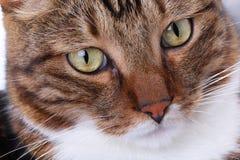 Muzzle gjorde randig närbild för inhemsk katt arkivfoto
