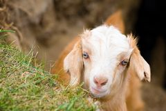 Muzzle of goat. Muzzle of young goat looking into camera royalty free stock photography