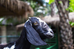 Muzzle Goat with the cut-off horns. Stock Photo