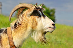 Muzzle goat in the fild Royalty Free Stock Photography