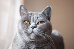 Muzzle of gray British cat Stock Photos