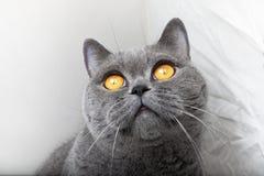 Muzzle of gray British cat. Close up Royalty Free Stock Photo