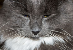 Muzzle of gray cat Stock Photos