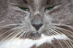 Muzzle of gray cat Stock Images