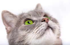 Muzzle of the gray cat looking up Royalty Free Stock Images
