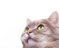 Muzzle of the gray cat looking up Royalty Free Stock Image