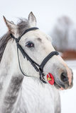 Muzzle of a gray horse close-up on a winter Stock Photo