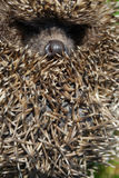 Muzzle of a hedgehog. With needles Stock Images
