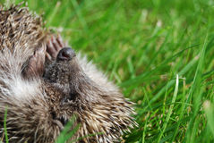 Muzzle of a hedgehog Royalty Free Stock Photo