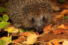Muzzle of a hedgehog Royalty Free Stock Photography