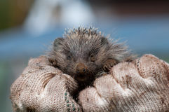 Muzzle of a hedgehog on hands Stock Photos