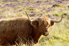 Muzzle of higland cattle, Dartmoor Royalty Free Stock Image
