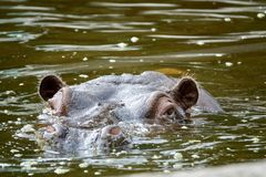 Muzzle of a hippopotamus in water closeup.  Royalty Free Stock Image