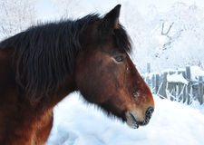 Muzzle of a horse. Muzzle of a horse in the winter. Winter landscape royalty free stock photography