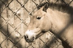 Muzzle of a horse beige color sideways in profile Royalty Free Stock Photography