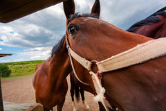 Muzzle horse close shot, fisheye stretched. Horse-racing club in Moldova. Muzzle horse close shot, fisheye stretched royalty free stock image