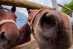 Muzzle horse, close-up nose. Stock Image