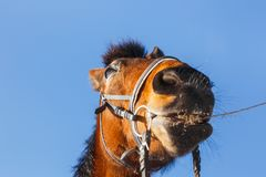 Muzzle horse cowboy with a straw in his mouth on a blue field stock photos