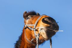 Muzzle horse cowboy with a straw in his mouth on a blue field royalty free stock images