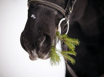 Muzzle of a horse with a fir-tree branch