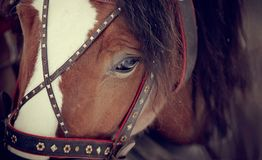 Muzzle of a horse in a harness. Stock Photography